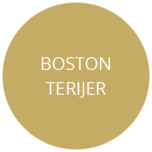 boston terijer